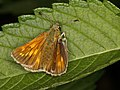 Large Skipper (♀) from Slovak Paradise (7615343326).jpg