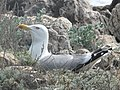 Larus michahellis (Saint-Honorat) 3.jpg