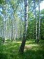 Las brzozowy w letniej szacie - panoramio (2).jpg