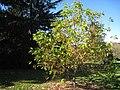 Lasdon Arboretum - Pterostyrax hispida - IMG 1479.jpg