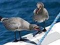 Lava gull pair (cropped).jpg