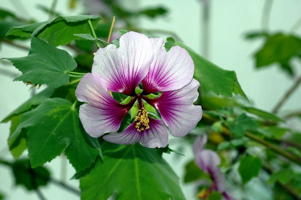 Lavatera The Complete Information And Online Sale With Free