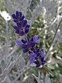 Lavender (27691226894).jpg