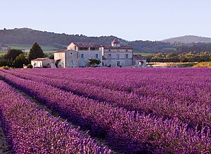 English: Lavender_field_of_Provance