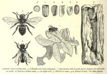 Common Bee Groups of CA - UC Berkeley Urban Bee Lab