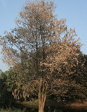 Dalbergia lanceolaria: Leafless tree