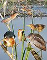 Least Bittern From The Crossley ID Guide Eastern Birds.jpg