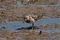 Least Sandpiper Cattail Marsh Beaumont TX 2018-04-24 10-04-32 (41168350045).jpg