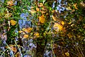 Leaves and reflections in a mossy puddle 1.jpg