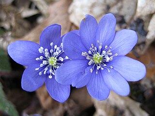 Pečeňovník trojlaločný - kvety