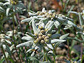 Leontopodium palibinianum.jpg