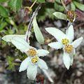 Leontopodium shinanense 01s Kisokoma.jpg