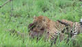 Leopard Killing Warthog Graphic Latest Wildlife Sightings Hd 1.png