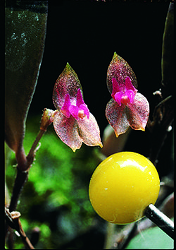 Lepanthes papillipetala.jpg