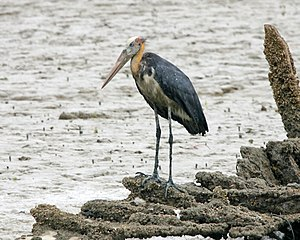 Stork - Lesser adjutants will forage in marine habitats, unlike most storks