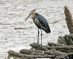 Stork - Lesser adjutants will forage in marine habitats, unlike most storks