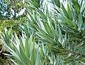 Leucadendron argenteum - Silvertree - foliage 6.JPG