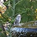 Leucistic Allen's Hummingbird (31888135107).jpg