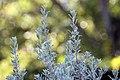 Leucophyllum frutescens 18zz.jpg
