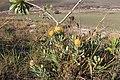 Leucospermum innovans 15692069.jpg