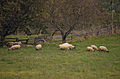 Lhoty u Potštejna, ovce.jpg