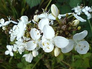 Libertia chilensis.jpg