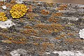 Lichen (29015621428).jpg