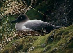 Light sooty albatross nesting.jpg