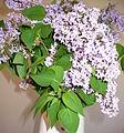 Lilac flowers.JPG