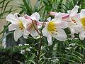 Lilium regale.JPG