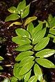 Lilium superbum 5zz.jpg