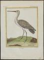 Limosa aegocephala - 1700-1880 - Print - Iconographia Zoologica - Special Collections University of Amsterdam - UBA01 IZ17400007.tif