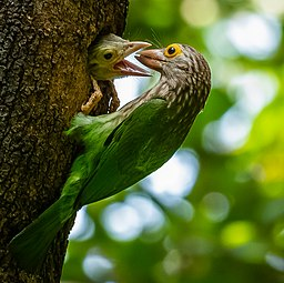 Lineated Barbet (Megalaima lineata) দাগি বসন্তবৌরি.jpg