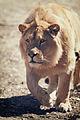 Lion Approaching (16951587994).jpg