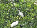 Little Egret (12590976613).jpg