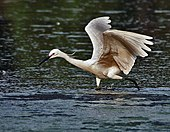 Little Egret (Egretta garzetta)- In Breeding plumage-actively catching prey in Kolkata I IMG 7962.jpg