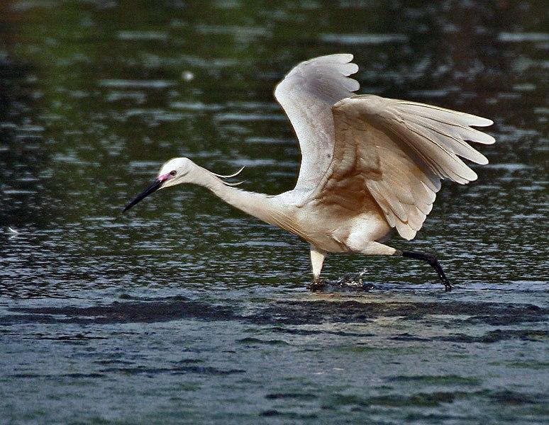 Little Egret (Egretta garzetta)- In Breeding plumage-actively catching prey in Kolkata I IMG 7962