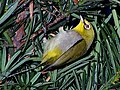Little Yellow Again - Zosterops japonicus.jpg