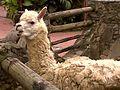 Llama dando la bienvenida zoológico Expanzoo..jpg