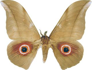 <i>Lobobunaea phaedusa</i> species of insect