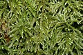 Loeskeobryum brevirostre (b, 143219-475506) 1955.JPG