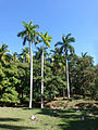 Lomas de Banao-Palmiers royaux.jpg