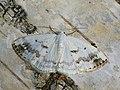 Lomographa temerata - Clouded silver (27055976348).jpg