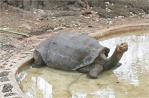 Pinta Island tortoise - Lonesome George at the Charles Darwin Research Station