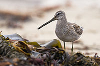Long-billed Dowitcher - Mike Baird.jpg