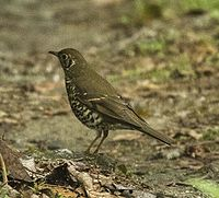 Long-tailed Thrush - Eaglenest Wildlife Sanctuary - Arunachal Pradesh, India.jpg