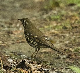 Long-tailed Thrush - Eaglenest Wildlife Sanctuary - Arunachal Pradesh, India.jpg