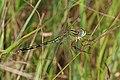 Long Skimmer - Orthetrum trinacria, Gorongosa National Park, Mozambique (29372782108).jpg