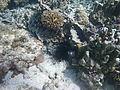 LordHoweIsland NorthBay Reef 08.JPG