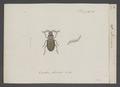 Loricera - Print - Iconographia Zoologica - Special Collections University of Amsterdam - UBAINV0274 010 19 0014.tif